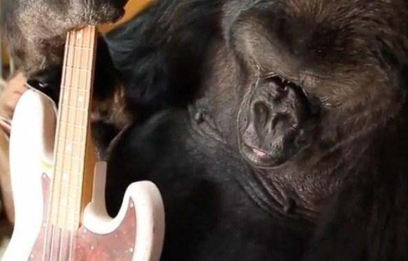 Koko, de gebarende gorilla die geen gebarentaal sprak