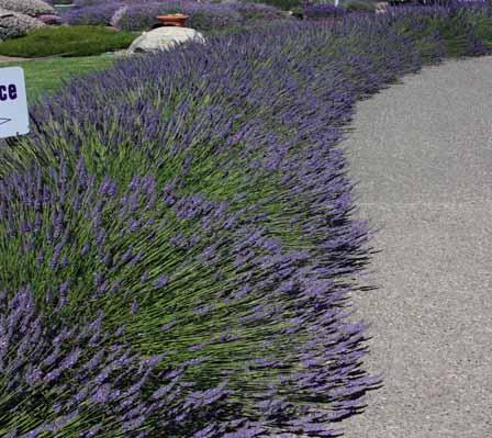 lavendarsequim