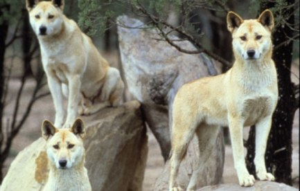 Three dingoes.