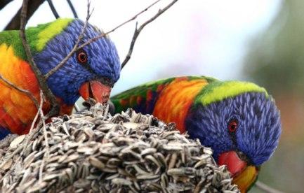 Rainbow lorikeets feeding.