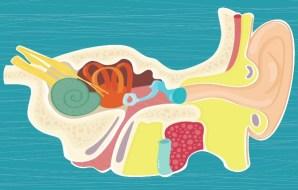 a diagram of the inner ear.