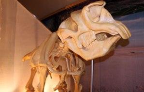 Diprotodon skeleton.