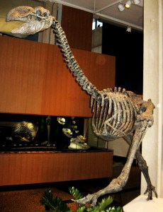 Fossil cast of a Dromornis stirtoni skeleton.