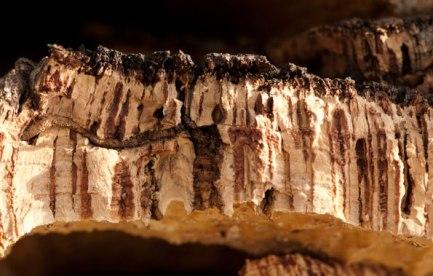 Cross-section of cork bark.