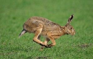A European hare.