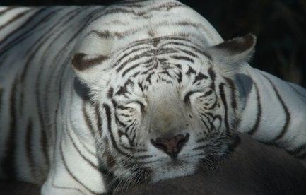 Sleeping white tiger.