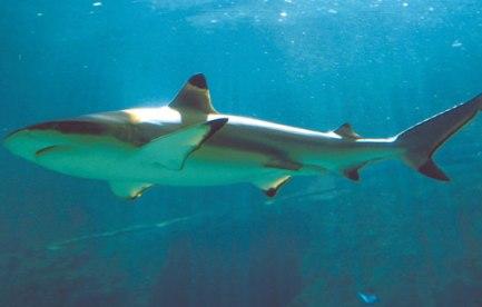 Swimming shark.