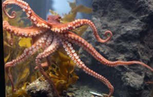 An octopus showing off its legs.