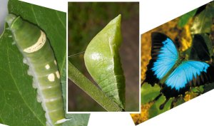 Three images - one of a caterpillar, one of a pupa and one of a butterfly.