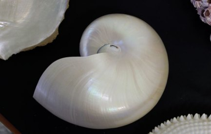 a pearlescent shell