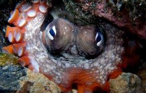 A gloomy octopus