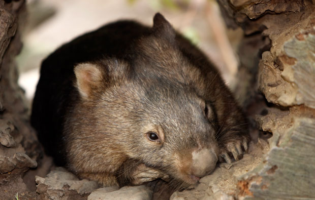 Picture of a wombat in a hollow log.