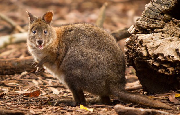 Small marsupial with large back legs and tail for hopping.