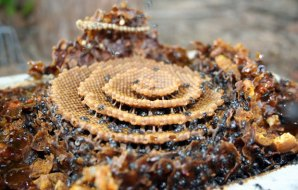 Brown sticky spiral of honeycomb.
