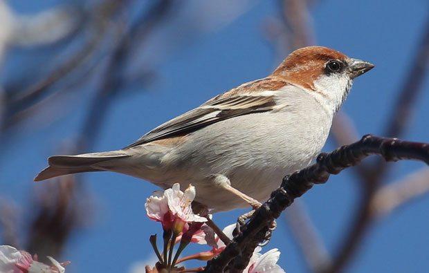 Image of a small brown and tawny coloured bird perched on a twig of a blossom tree.