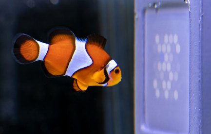 Clownfish looking at a purple dotted screen.