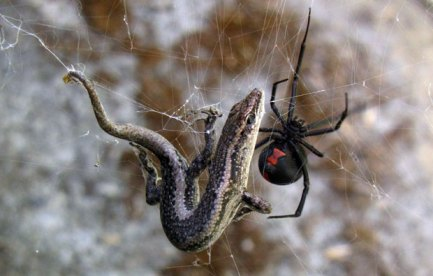 A redback spider with a small lizard trapped in its web