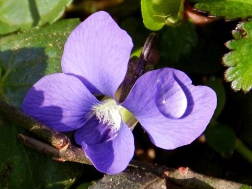 Raindrop on Ivy Flower