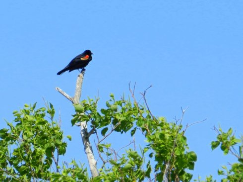 Photograph of a red-winged blackbird in a tree