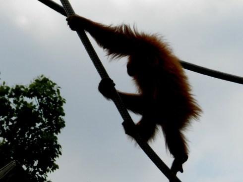 Climbing Orangutan
