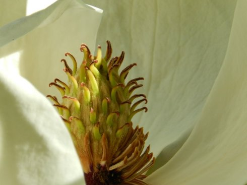 A macro photograph of a magnolia bloom