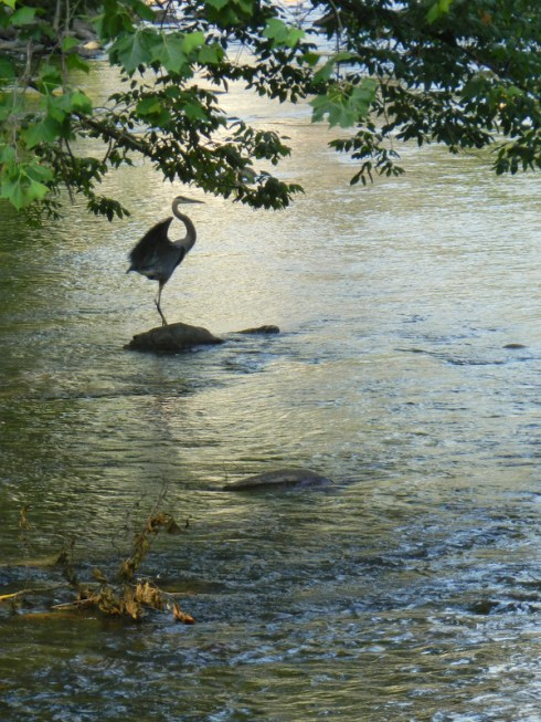 photograph of a great blue heron taking flight
