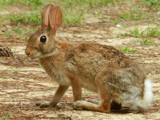 photograph of an Eastern Cottontail rabbit