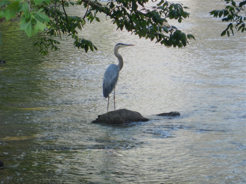 Photograph of great blue heron standing on a rock in a stream