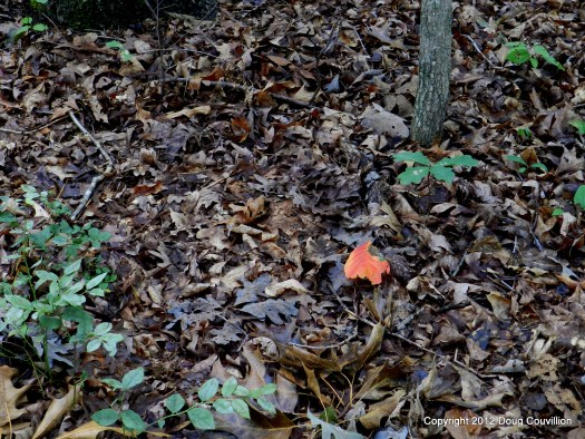 photograph of a single red leave among a group of brown leaves