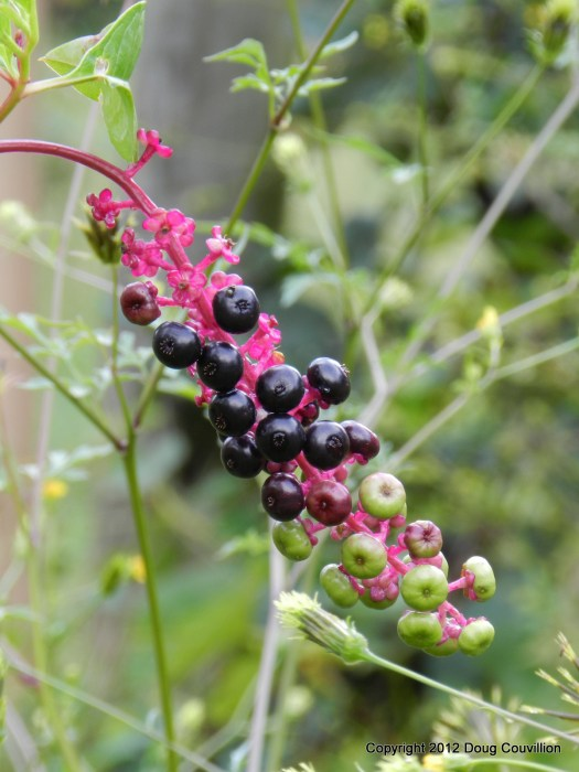 photograph of pokeweed berries