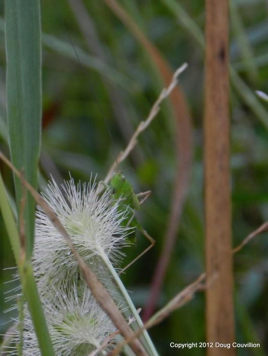 photograph of a grasshopper on a seedpod