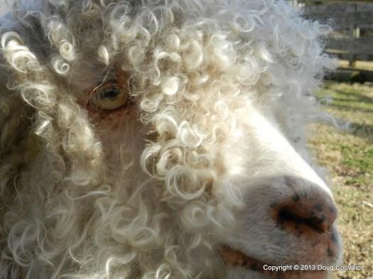 close up photograph of a sheep