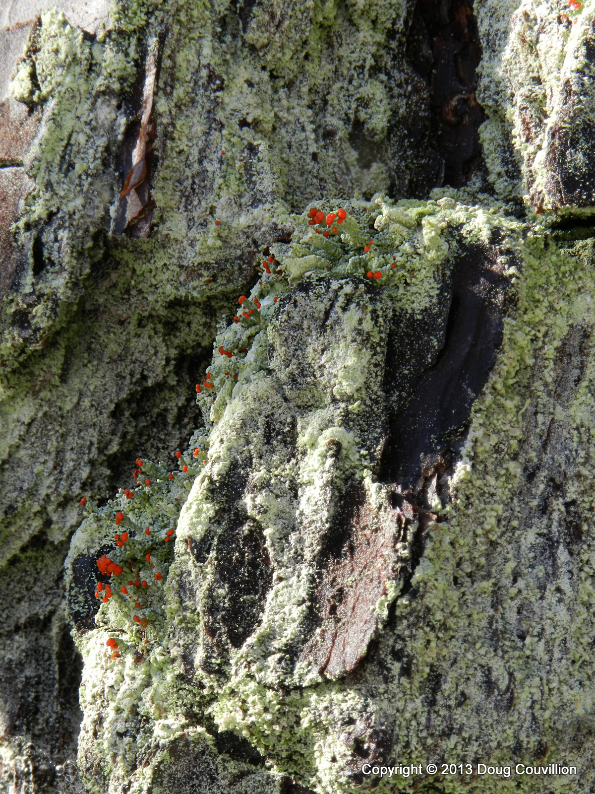 photograph of lichen blooming on the side of a tree