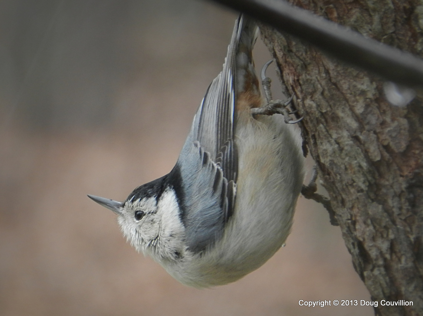 photograph of a White Breasted Nuthatch on a tree trunk