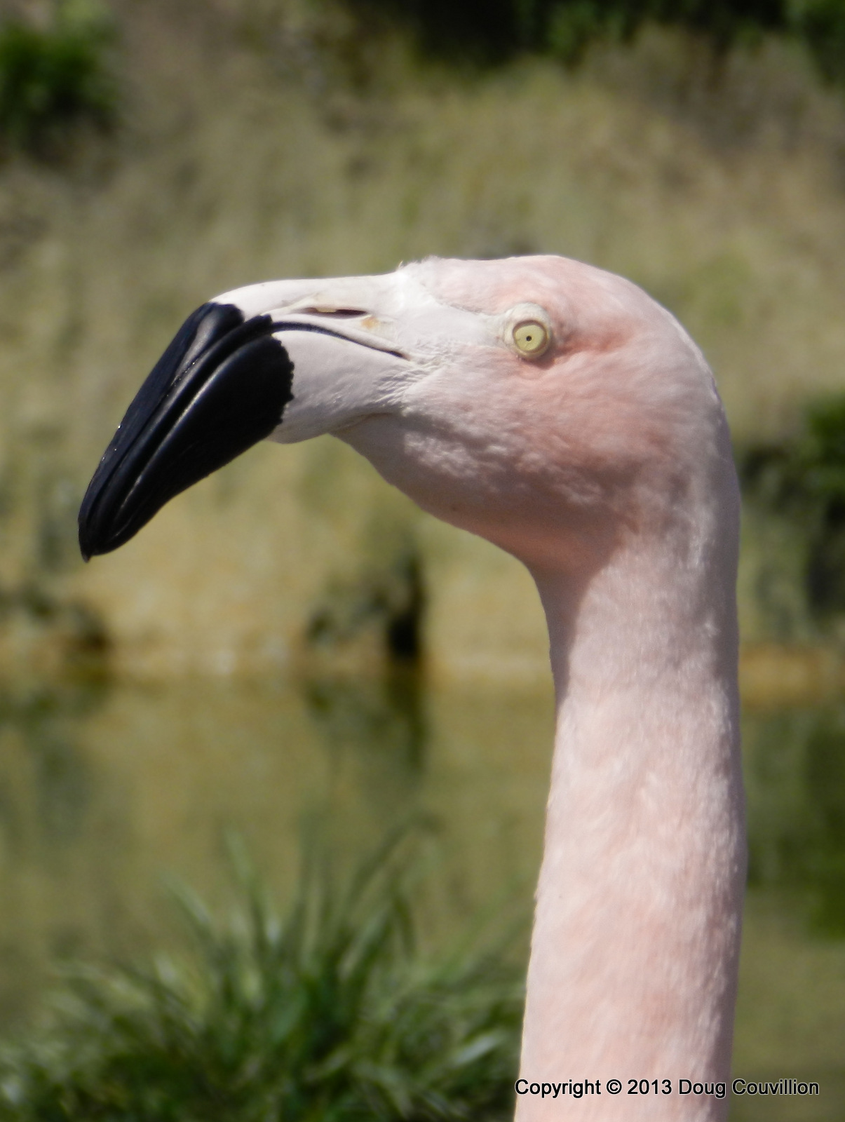 photograph of a flamingo