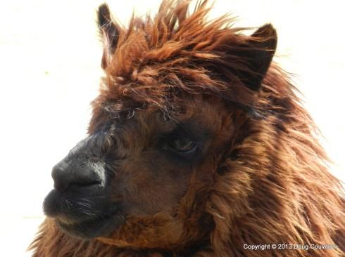 photograph of an alpaca