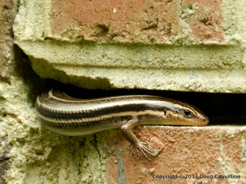 Five-Lined Skink 1