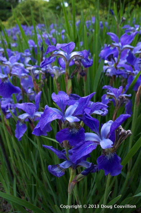 photograph of a flower bed full of purple iris flowers