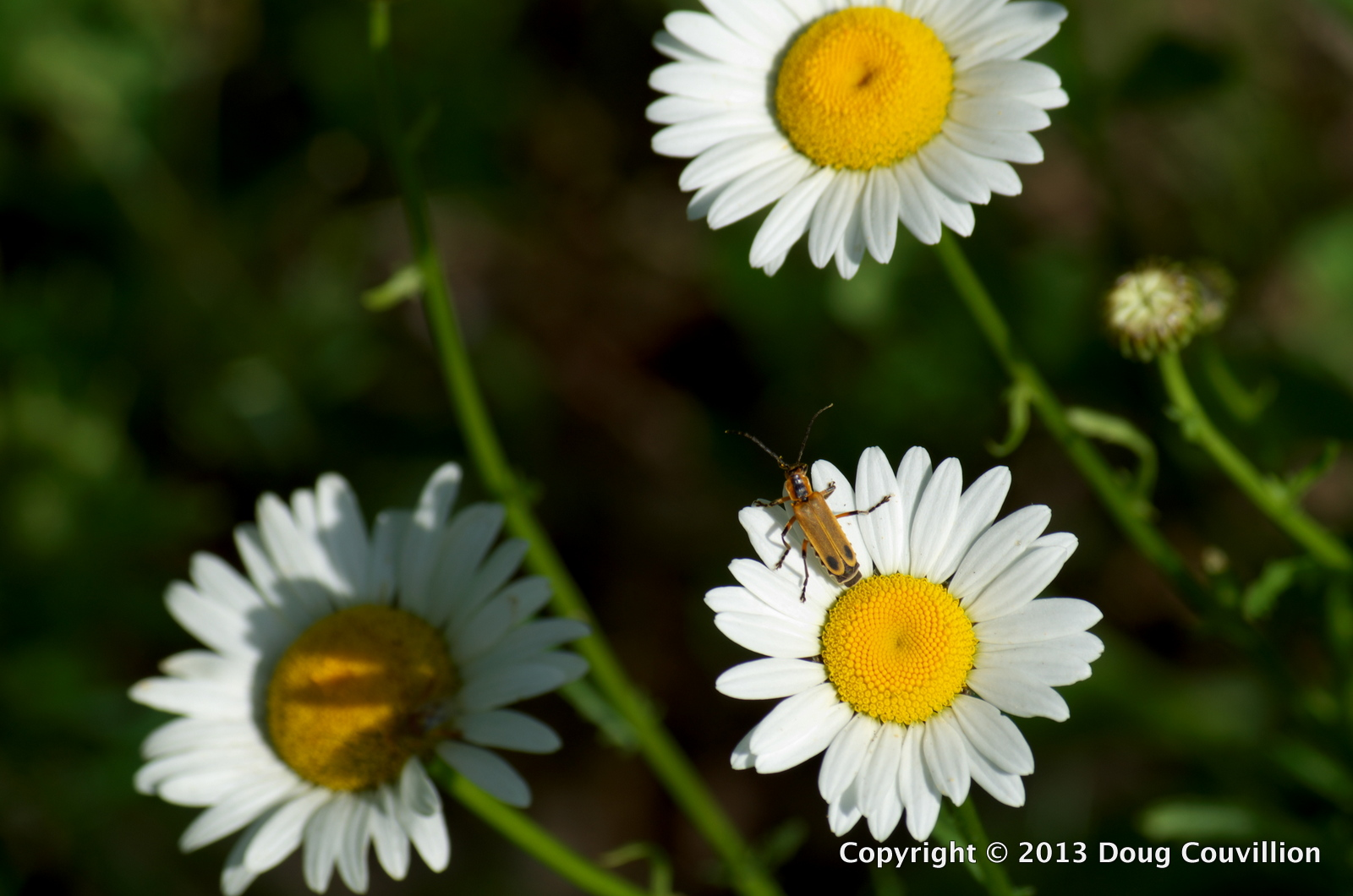 photograph of a beetle on a daisy flower