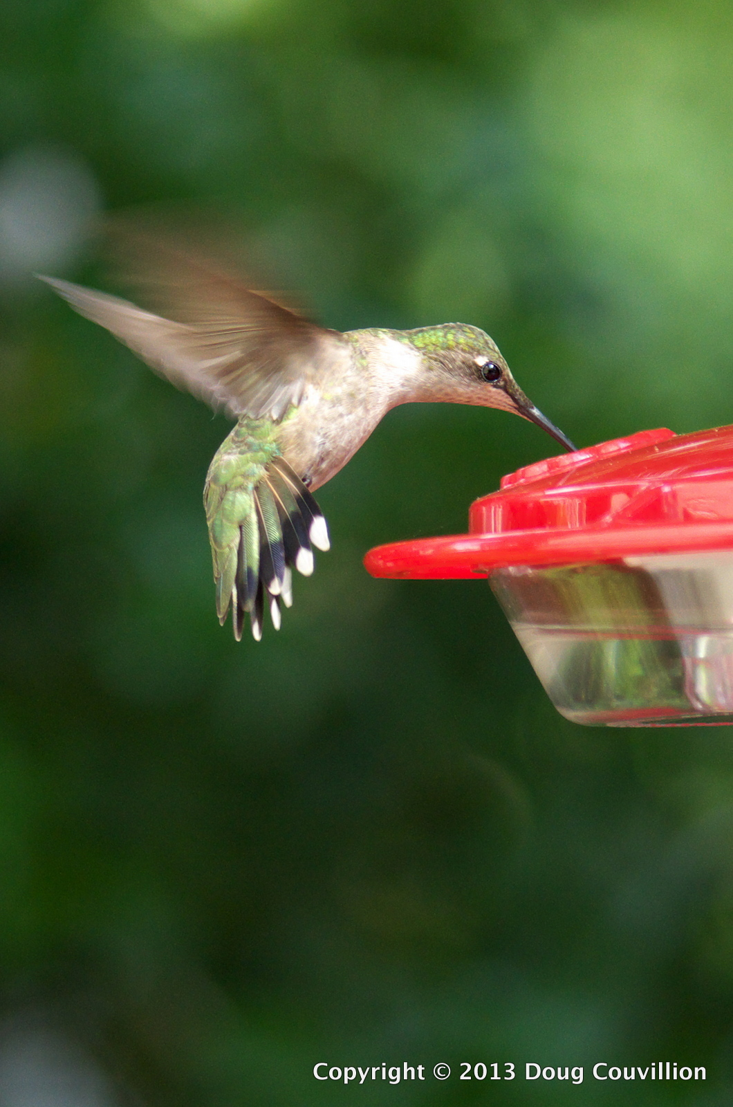 photograph of a female ruby throated hummingbird hovering at a feeder