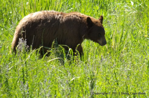 photograph of a black bear in Yellowstone National Park