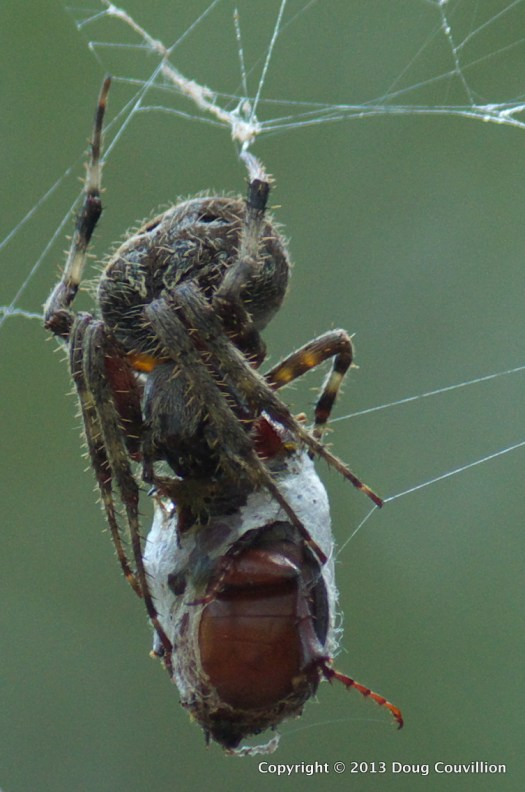 macro photograph of a spider in a web eating a beetle