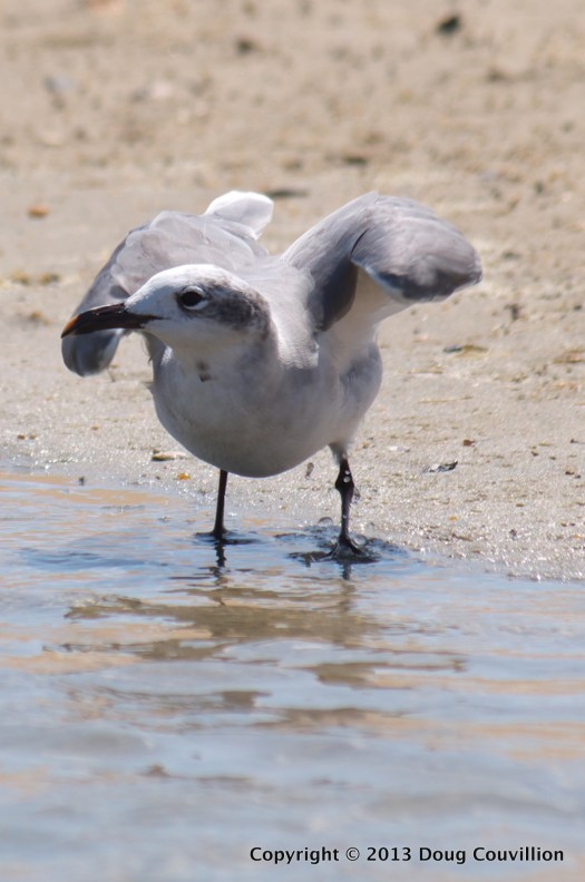 photograph of a juvenile Laughing Gull getting ready to take flight
