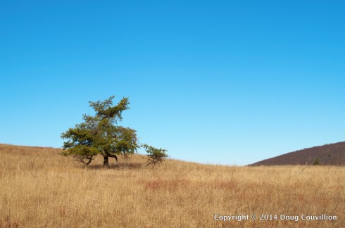 photograph of a lone pine tree on the crest of a hill with a blue sky behind it