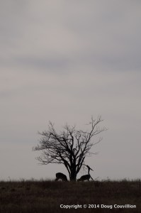 photograph of two whitetail deer silhouetted in front of a tree