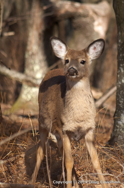 photograph of a white-tailed deer fawn