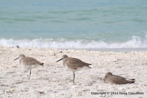photograph of three Willets resting on a beach