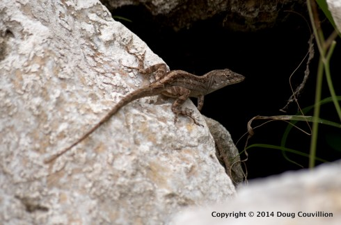 photograph of a brown anole on a rock