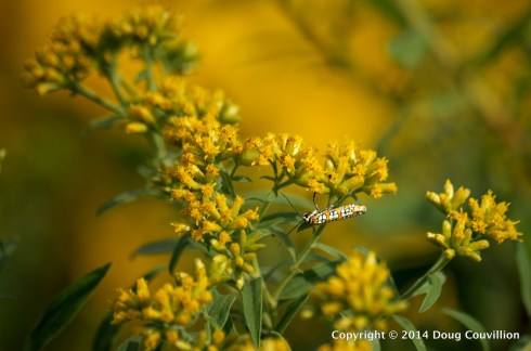 photograph of an Ailanthus Webworm Moth on wildflowers