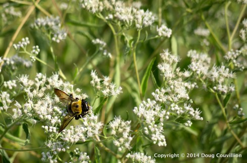 photograph of an Eastern Carpenter Bee on wildflowers